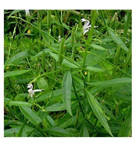Andrographis Paniculata (rhumes, rhinites, diabète)