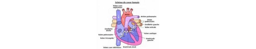 CARDIOVASCULAR DISEASE (HEART)